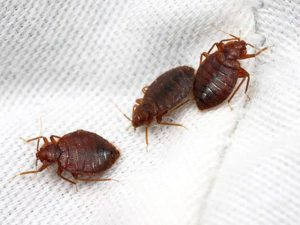 Bed-Bugs Pest Control