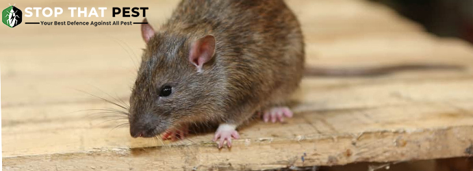 Why Do you Require Rodent Control at Your Commercial Space?